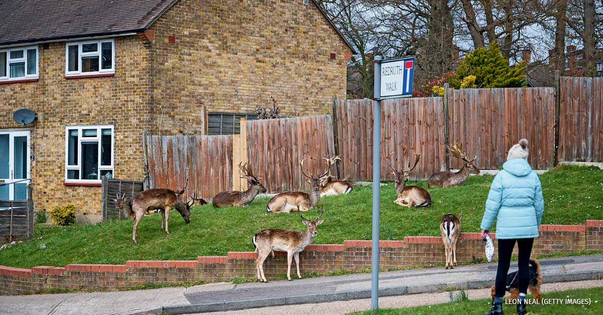 : A woman stops to watch the Fallow deer from Dagnam Park as they rest and graze on the grass outside homes on a housing estate in Harold Hill, near Romford