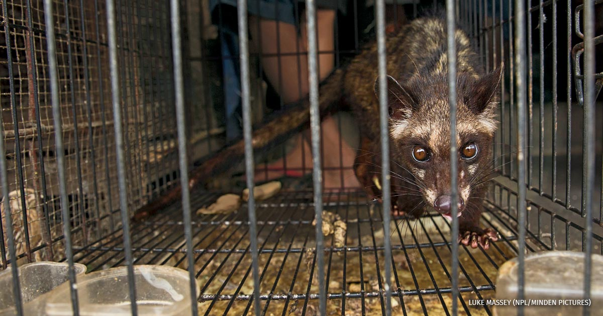 Asian palm civet prowling its cage, for sale in market, Denpasar, Bali.