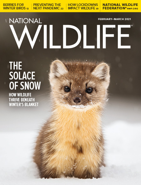 An American marten in the snow in Yellowstone National Park.